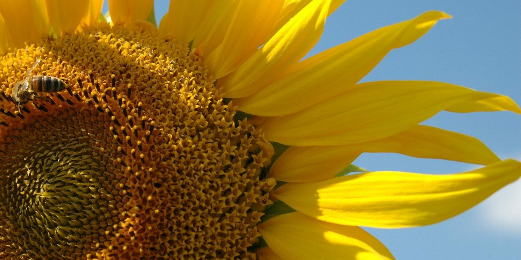 Bright Sunflower On A Sunny Day